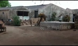 'The lion who came to tea!' Thirsty feline enters Indian village to get drink from well