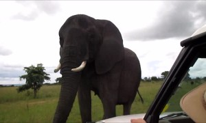 Wild elephant uses trunk to say hello