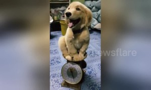 Cute puppy smiles as it 'weights' patiently on scale in Thailand