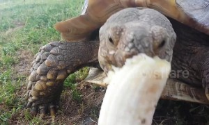 Hungry tortoise happily snacks on fresh banana