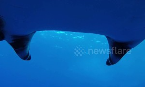 Diver films breathtaking swim with huge manta ray off Mexico coast