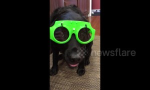US dog gets ready for the rain in windshield wiper glasses