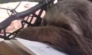 Sloth Enjoys Book Reading Session