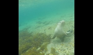 Diver swims with extremely friendly sea lions