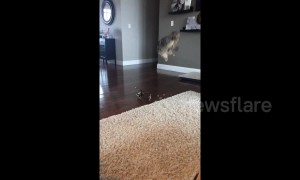 """Boo!"" Cat leaps clean into the air when person surprises it from behind"