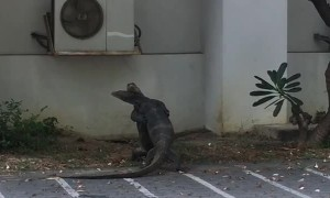 Monitor Lizards Hug it Out