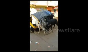 Raging bulls turn rickshaw into a fighting arena