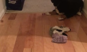 Bernese Mountain puppy's first experience with bone is too cute