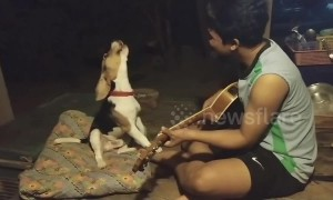 Beagle's got talent! Dog 'sings' along with owner playing the guitar