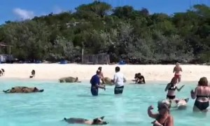 Wild pigs swim with humans in Caribbean waters