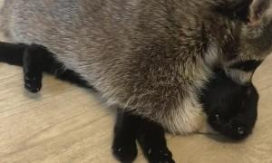 Raccoon and Cat Make Cute Pair