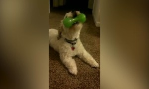 Dog Can't get Enough of Squeaky Toy