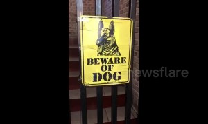 Beware of the dog! Dachshund is the 'vicious guard' of her family home