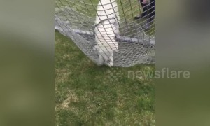 Puppy tries to run through soccer net during game of fetch