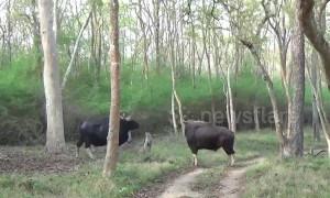 Indian Bison rams Jeep with horns in stunning up-close footage in Karnataka Forest, India