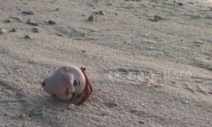 Heartbreaking moment hermit crab is seen stuck inside plastic doll's head
