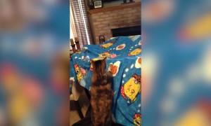 Cat VS Blanket Fort