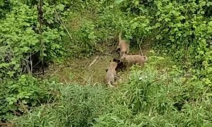 Playful fox cubs fight over abandoned boot in London garden