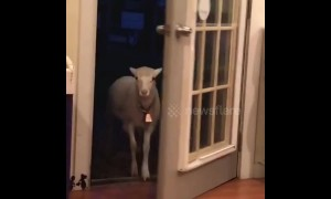 This lamb wants to make an entrance but the door won't let him