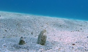 Moray Eels Interact on Ocean Floor