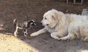 Tiny baby goats adorably play with Pyrenean Mountain Dog