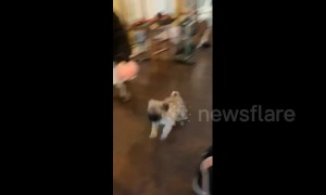 Goofy US pug puppy glides across floor while chasing owner