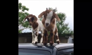 'Get off my Jeep!' Cheeky goat kids play on roof of Texas man's car