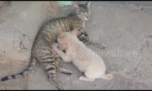 Nursing cat adopts orphaned puppy in India