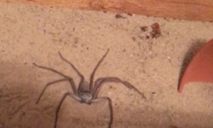 Sneaky Six-Eyed Sand Spider