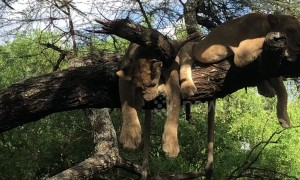 Those aren't cuddly toys! Sleepy lions enjoy catnap on a tree branch in Tanzania