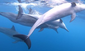 Snorkeling with a Super Pod of Dolphins