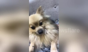 Hilarious pooch uncontrollably shakes head after sneezing