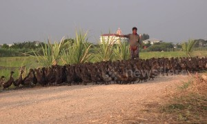 Hundreds of ducks cross road in Thailand