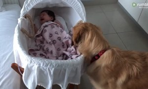 Golden Retriever adorably comforts crying newborn baby
