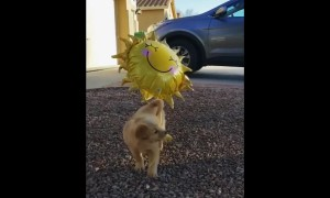 Golden Retriever puppy plays with helium sunshine balloon