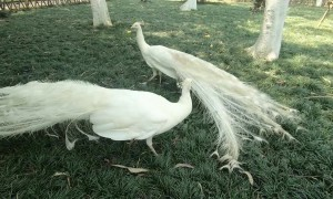 Pair of white peacocks circle each other in elegant dance-fight