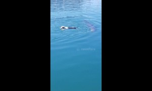 Playful seals chase swimming dog in South Africa