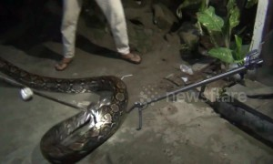 Huge 16ft python caught from under Indonesia house after preying on local livestock