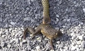 Incredible moment frog hopes away after being regurgitated by snake