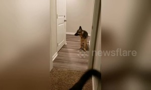 Pup is too scared to walk forward through door so improvises