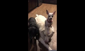 US Chihuahua stands on golden retrievers head like a hat