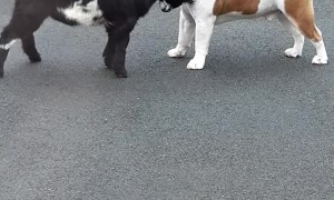 Bulldog and Pygmy Goat Make Best Buddies