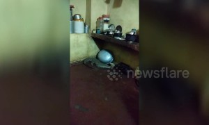 Crocodile crawls into house kitchen in northwestern India