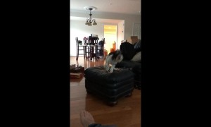 Joyful bounding hound leaps across furniture in his new home