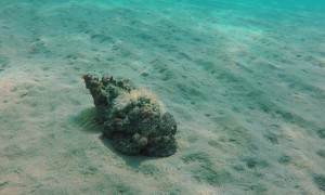 Octopus Masterfully Camouflages Itself as a Rock