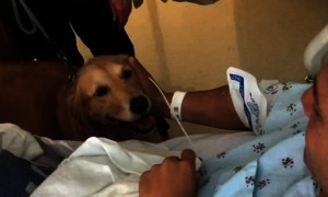 Golden Retrievers's react to seeing owner after open heart surgery