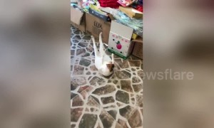 Cat does sit-ups to get body ready for summer in China