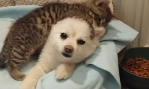 Abandoned kitten absolutely loves playing with patient Pomeranian