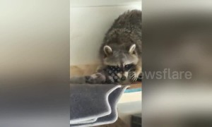 Canadian man discovers raccoon gave birth in his garage overnight