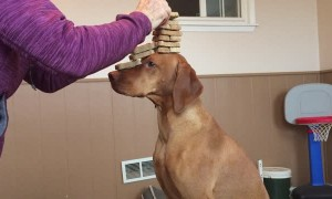 Stacking Tower of Biscuits on Dog's Head